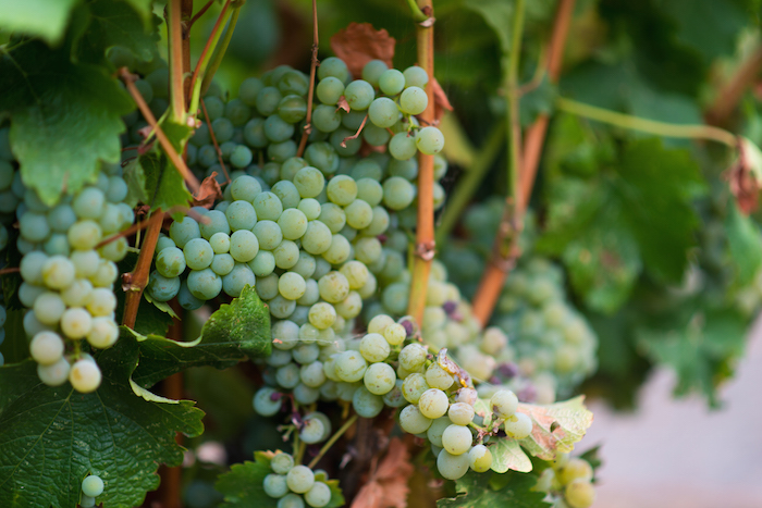 Viognier Grape Clusters.jpg