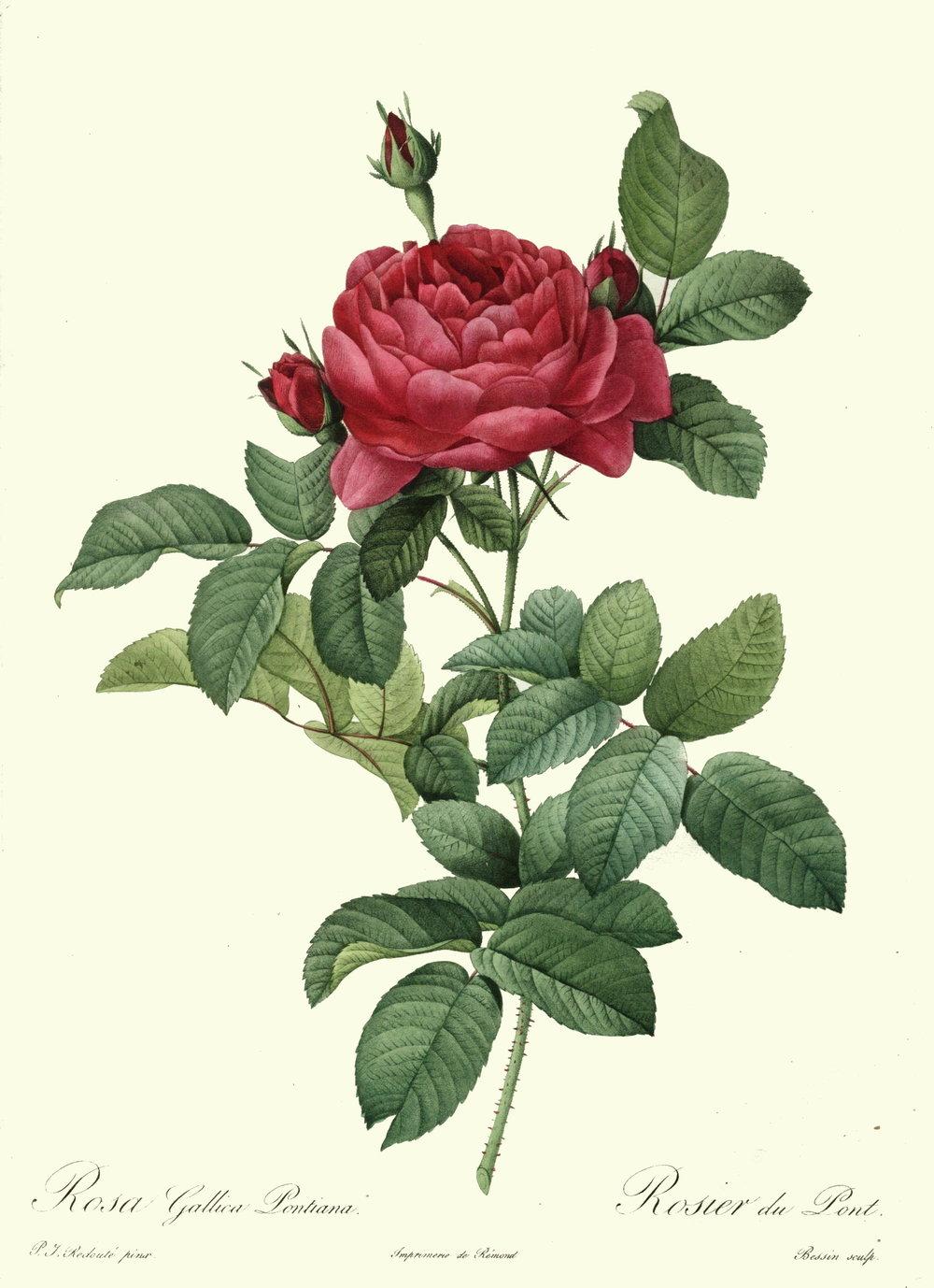 Redoute_-_Rosa_gallica_pontiana.jpg