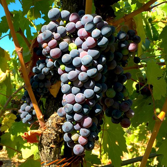 Grapes-web4.jpg