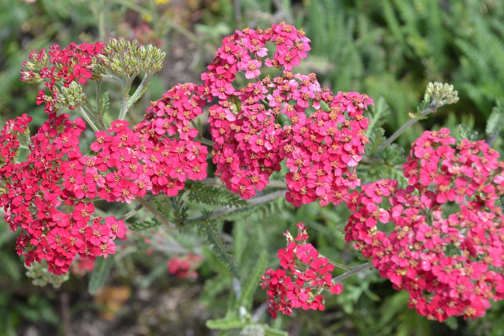 Pink Yarrow - a hybrid of California Native Achillea millefolium (which is yellow or white)