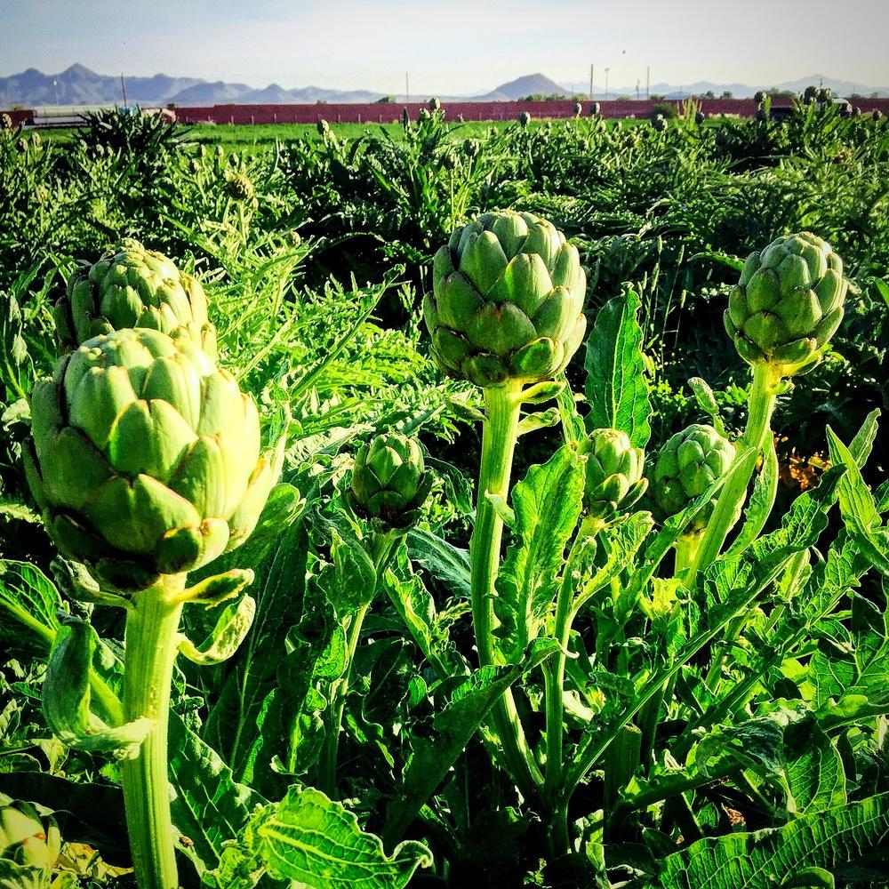 artichoke fields.JPG