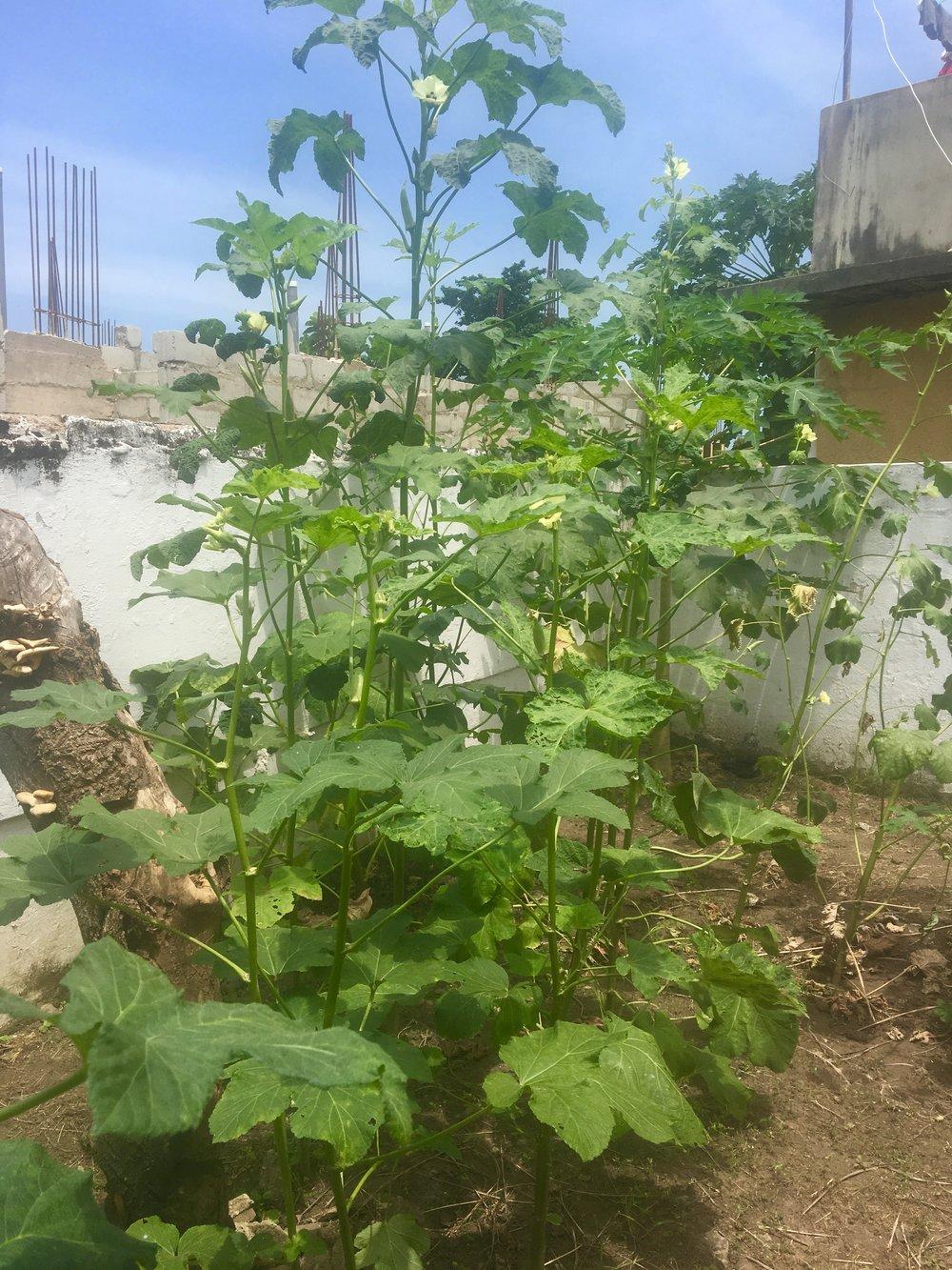 my okro garden
