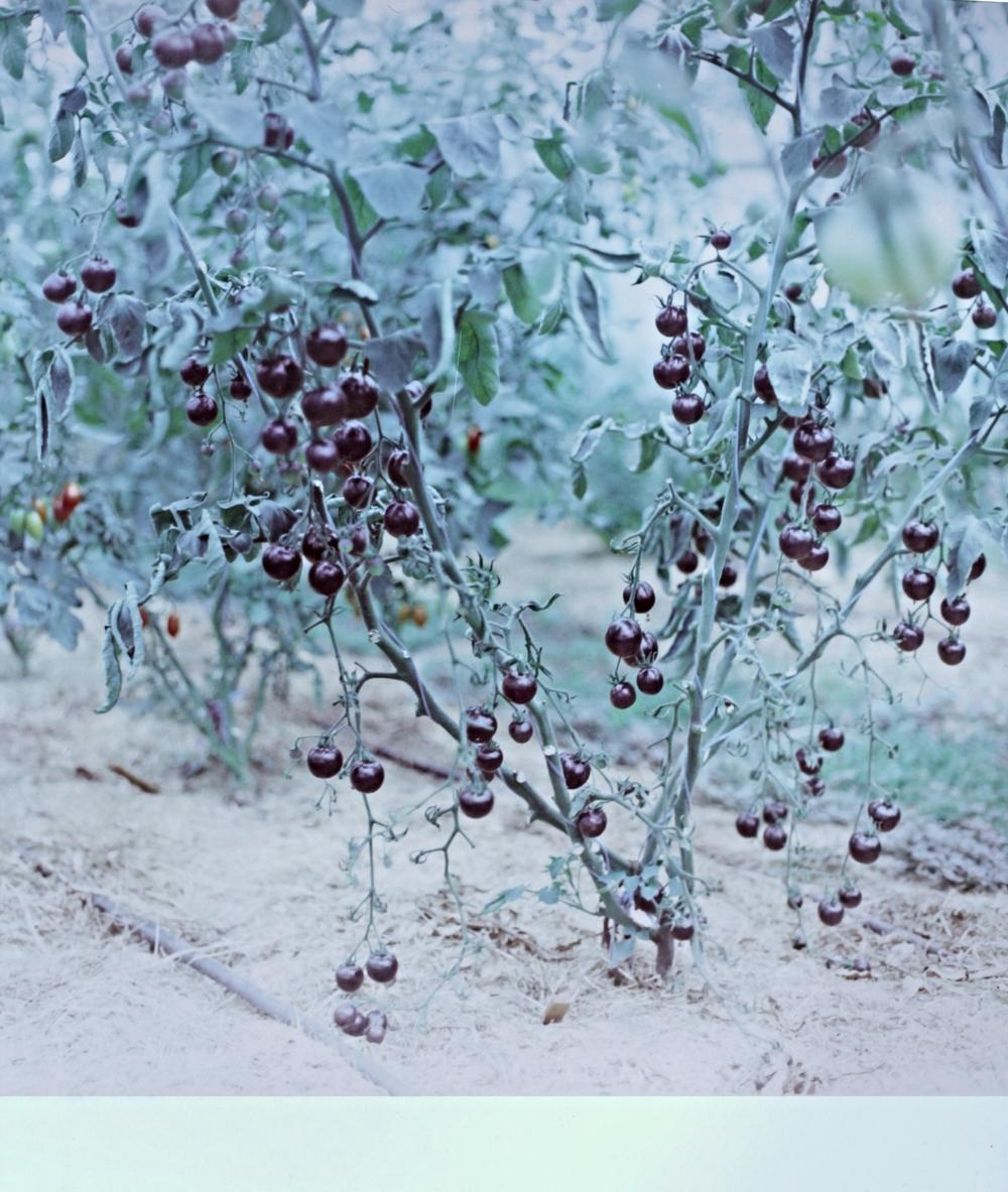 Black tomatoes.jpg