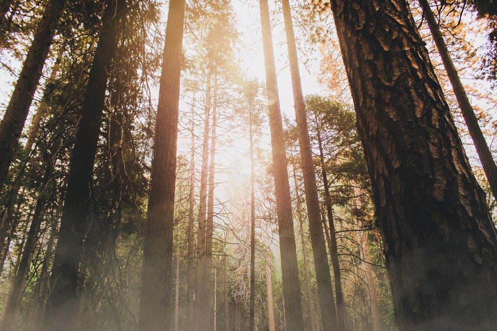 redwood trees stretch upward into the sunlit mist