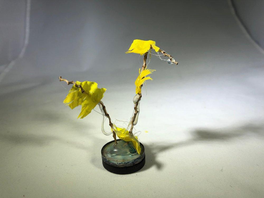 Yellow Musk Creeper