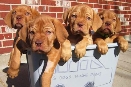 Puppies rescued and treated for Parvo by support from the Rosemont Foundation -  BigDogsLargePaws, Colorado