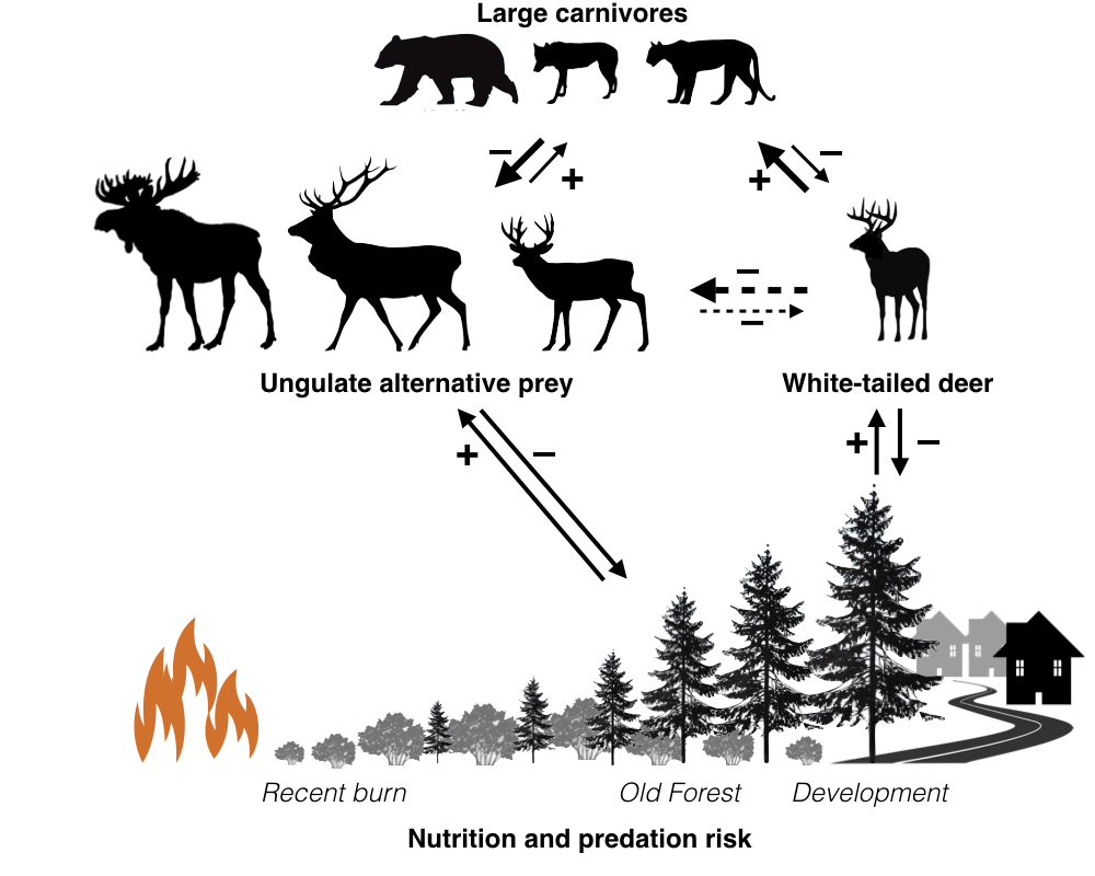 Landscape disturbance may be affecting carnivore-ungulate dynamics through multiple pathways, including via nutrition, apparent competition, and resulting predation risk.