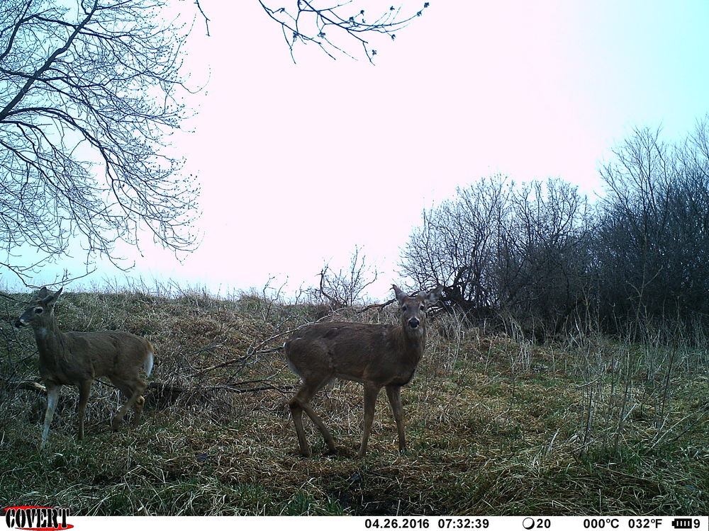 Two bucks hitting a fresh mineral site.
