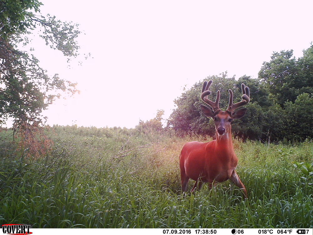 I haven't determined if this buck is going to be killable enough to be a top early season target. There isn't a clear pattern I can get him on yet. The last month leading up to opener will be telling.