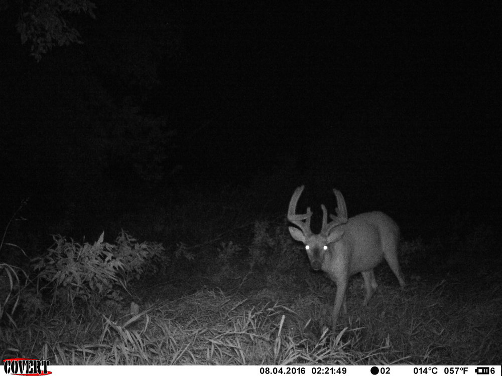 "The buck we call ""Tiny"" that Tyler had an encounter with."