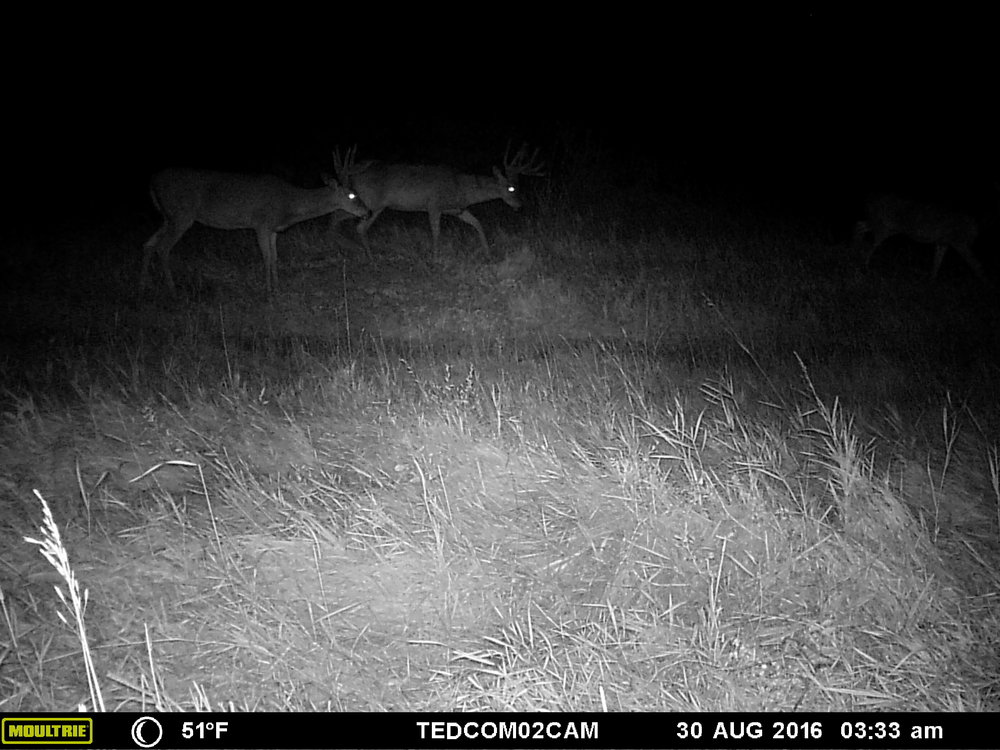 A couple of the bucks moving along the field edge.