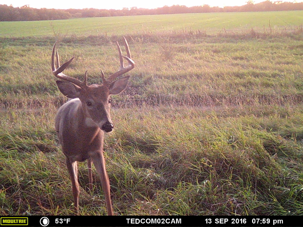 Trail Cameras can help you identify new bucks showing up on a property after shedding velvet.