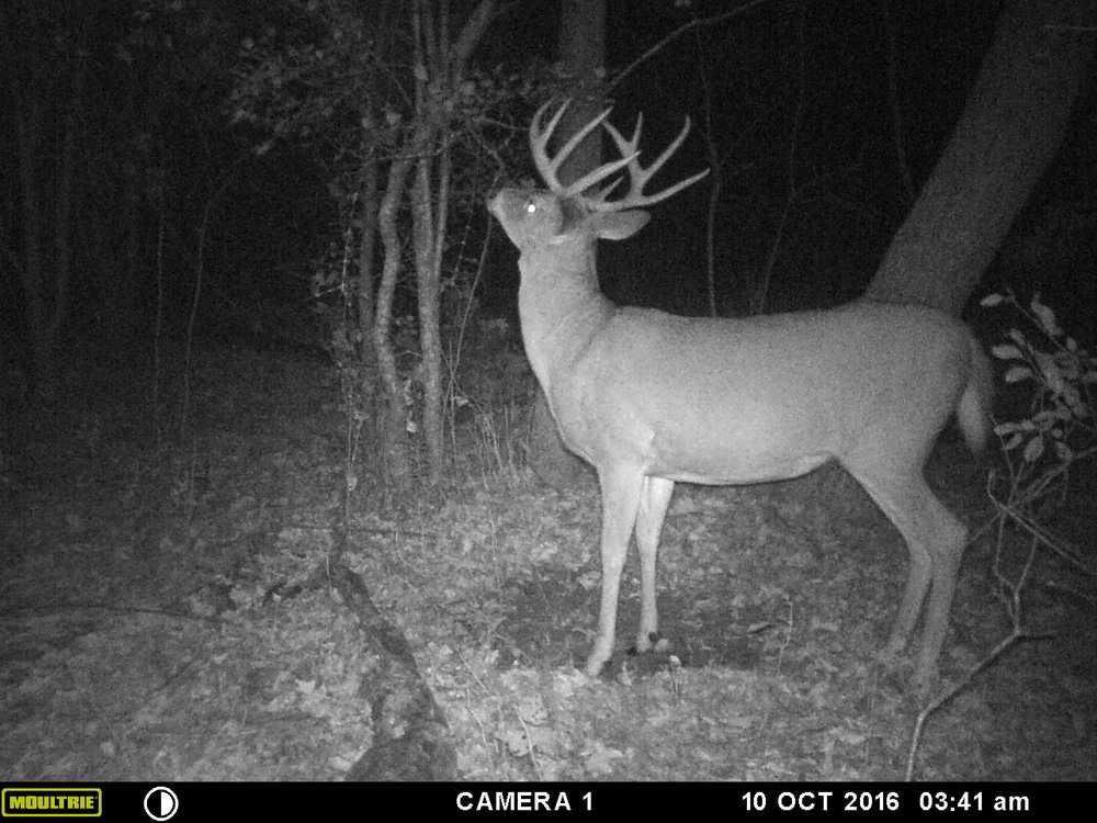 I'm about 90% sure this was the first buck I saw that morning.