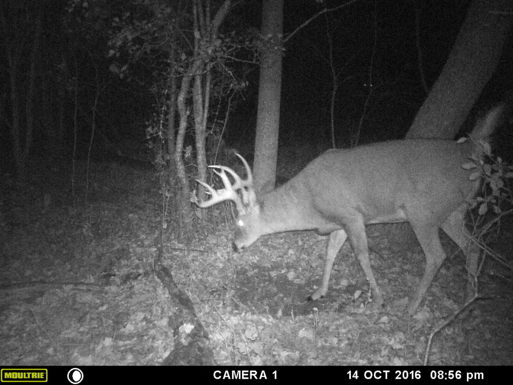 The split G2 gave this buck's identity away. He was about 60 seconds from getting an arrow sent at him.