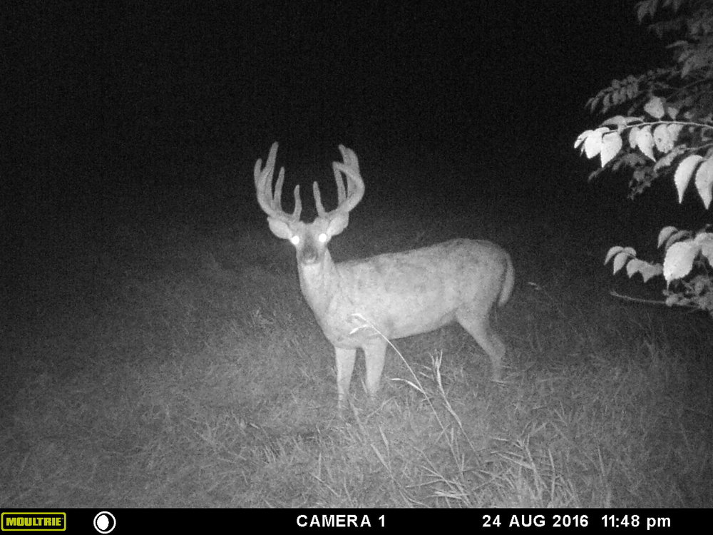 I got pictures of this buck throughout the summer of 2016 only during the middle of the night. I never laid eyes on him.