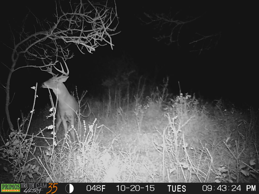 """Geezer"" in 2015. Here I estimated him to be somewhere around a 3-4 year old buck."