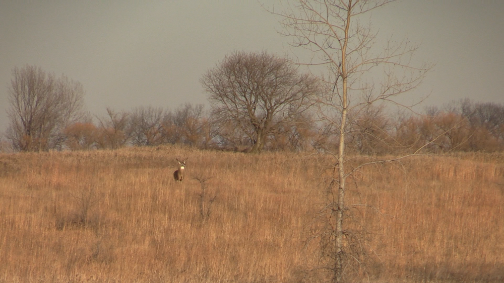 In an open area such as this, a buck doesn't have to come within bow range to investigate. A decoy on this hunt last November would have been handy.