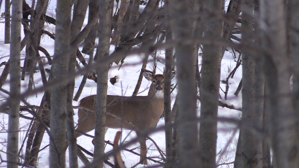 After having a crazy morning in the timber, this buck presented me with a shot, but I decided he wasn't for me.