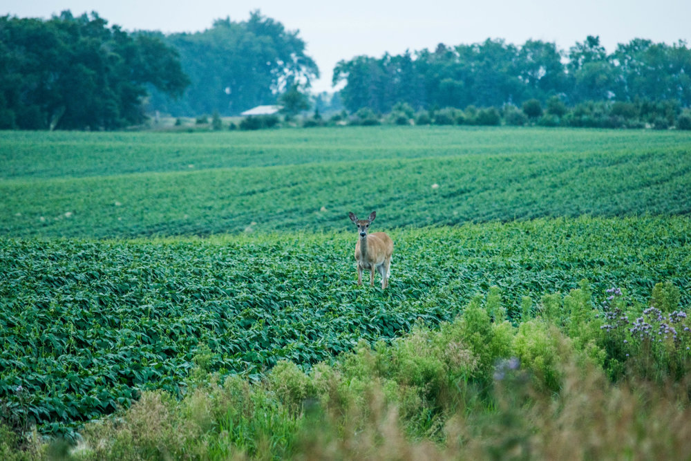 Don't forget what hunting hinges on, and that's the whitetail deer itself.