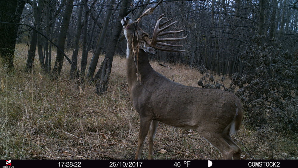 Many of you know about the buck I was after last season, Kobe, and this photo was taken last fall, on a Wednesday right in front of my stand.