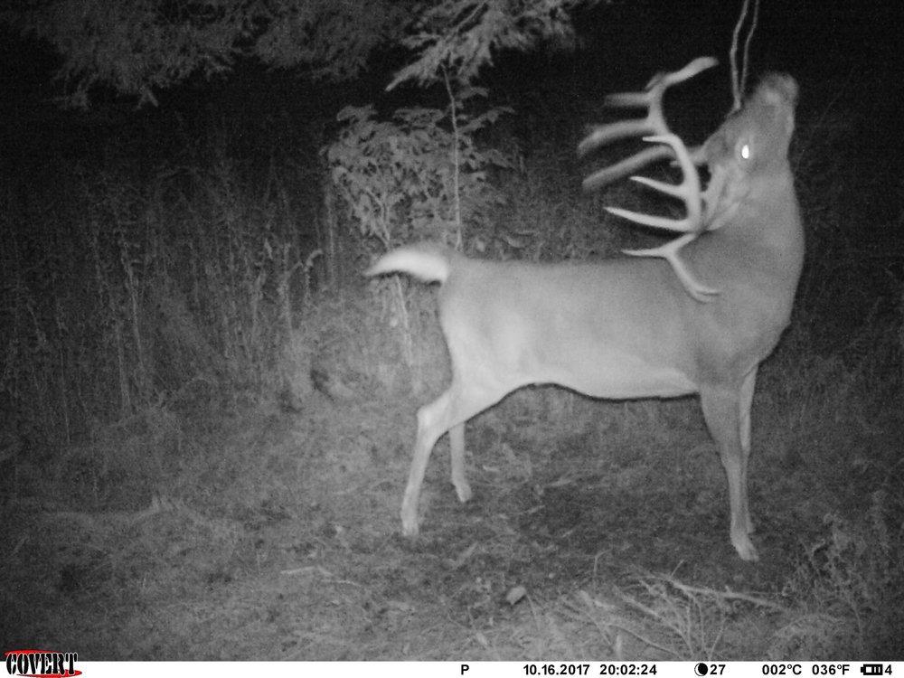 A giant Pennsylvania mountain buck hitting a scrape. PC: Beau Martonik