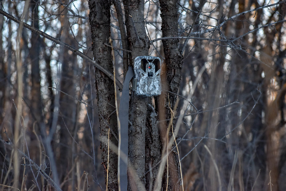 Trail cameras can play a big role in helping you determine when to start searching for shed antlers.