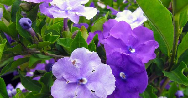 The white and purple flowers of Brunfelsia Grandiflora, traditionally known as Chiric Sanango.