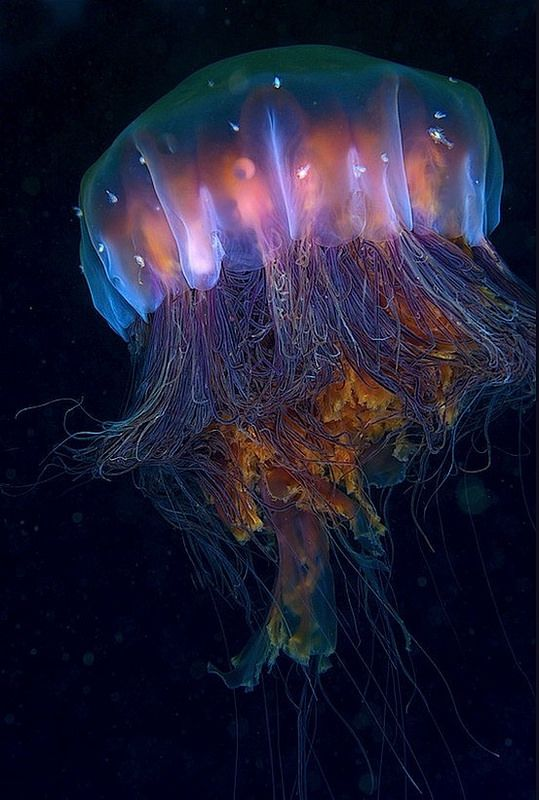 bb4621918cd3113f4742ee5d93c4728c--jelly-jelly-jelly-fish.jpg