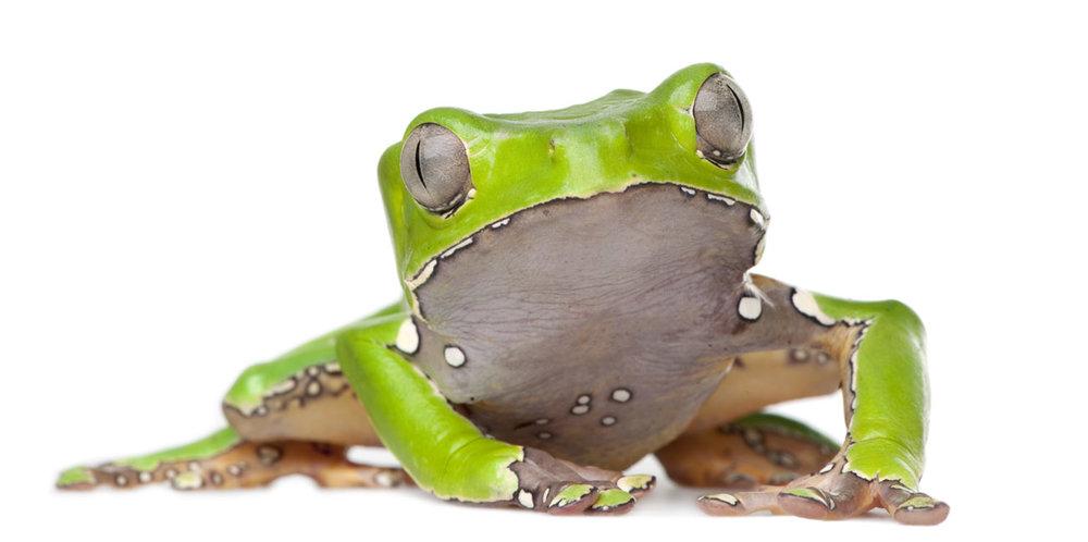 kambofrog.jpg