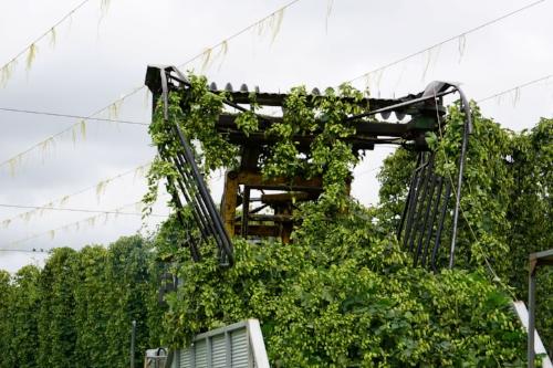 Photo: Hop vines being harvested.