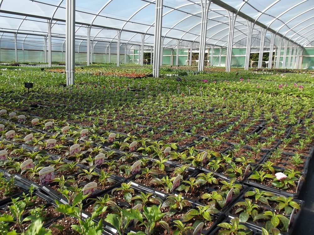 Bedding tunnel in Trevena Cross Nursery.jpg