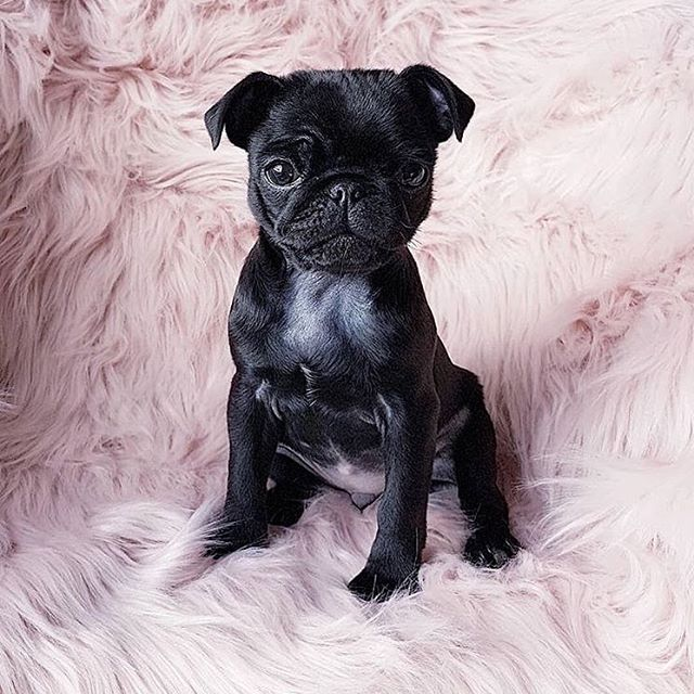 "Snuggle Sunday 💕 Today's #tuneinchallenge is to say ""namaste.... in bed."" Grab your favorite snuggle buddy and get back under the covers! #liveyourmuse #namasteinbed  @dogsofinstagram via @itsfrankiepug"
