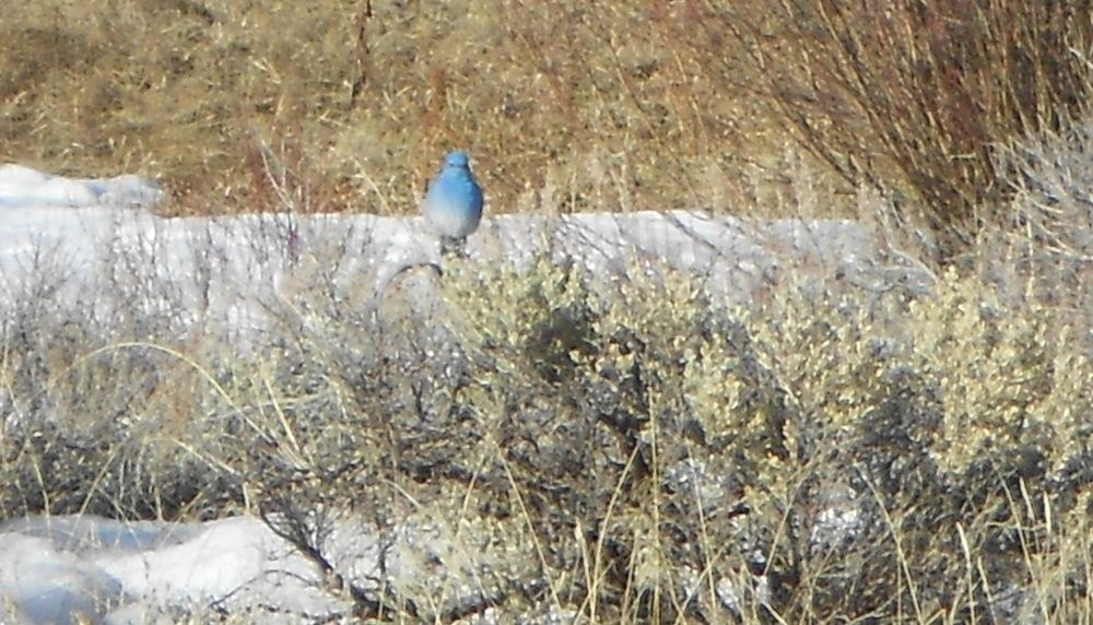 A picture of a bluebird I took several years ago