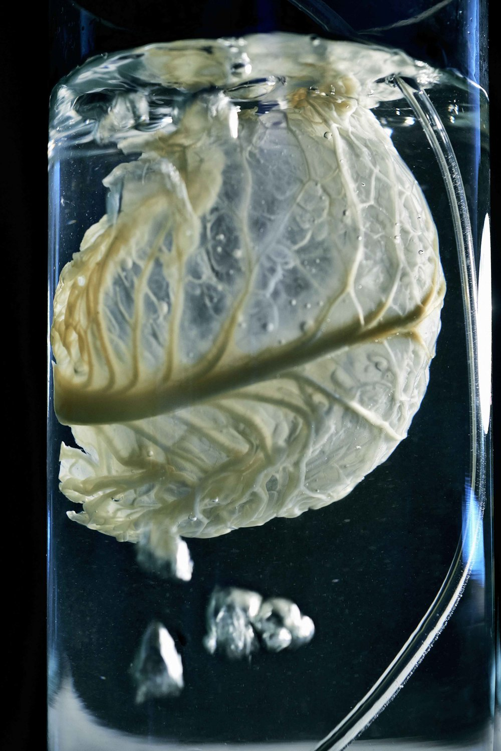 Ectosymbiont,  by Angela Mathis, uses the decellularization of plants, to create scaffolds for human tissue engineering.