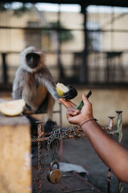 Monkey, jaipur-3.jpg
