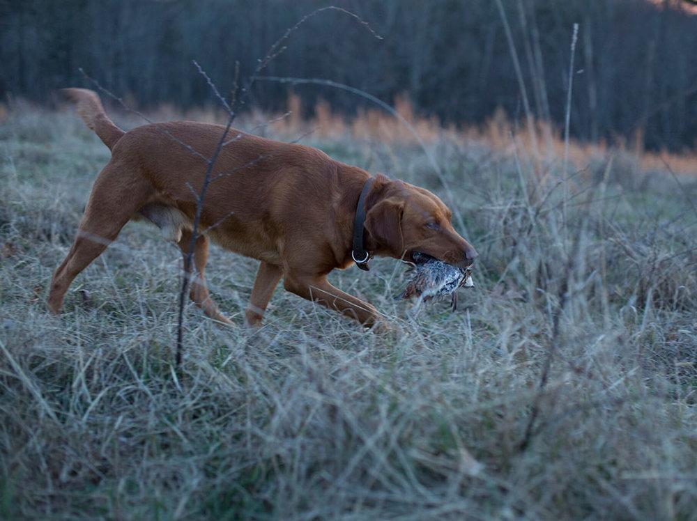 iowa-red-labs-hunting-dogs-happy-customers-tim-karuth-2.jpg