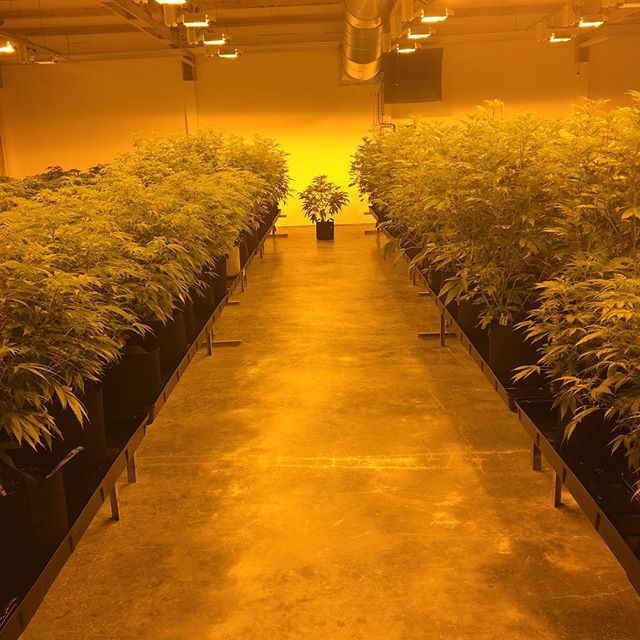 Rows and rows🌱. #highnoon #plantbasedhorticulture #cleanroom #whiterussian #gsc #ommp #i502 #producer #grower #indoor #cannabis #hightimes #goodtimes