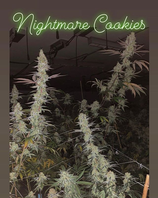 NIGHTMARE COOKIES (PlatinumGSC x White Nightmare) This was a dream to work with. Every seed from this pack was great in its own way. The stacks on this #14 pictured were gigantic, and superior 🔥. We will drop this flavor in the first 1/4 of 19'. Keep your eyes 👀 peeled.. Breeder: @sincityseeds