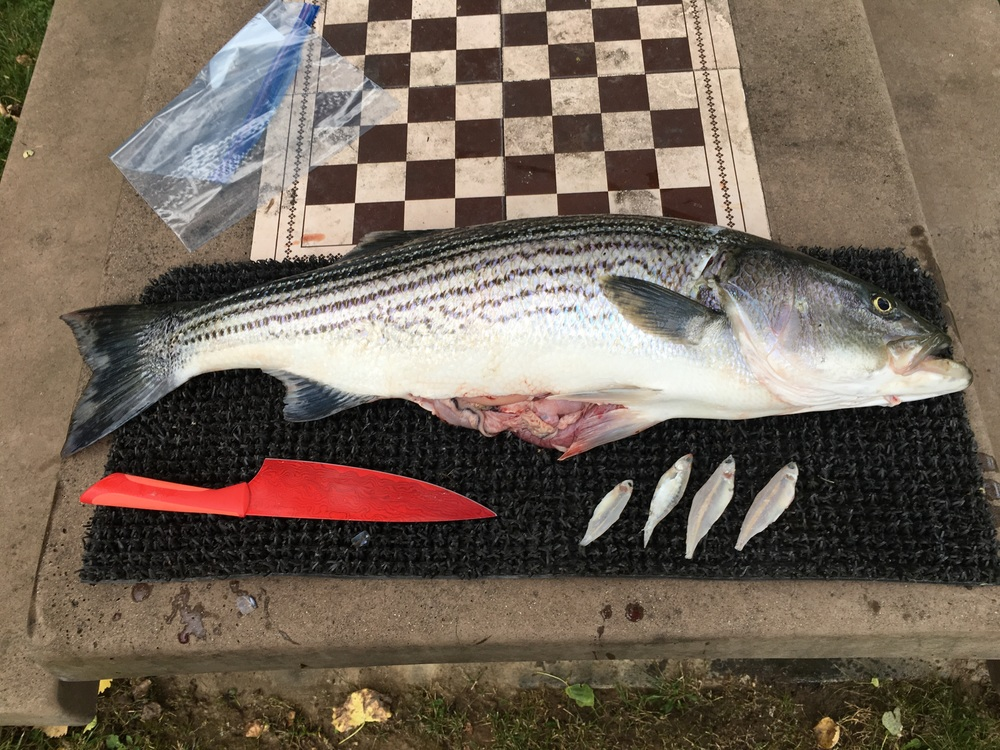 14 pound striped bass caught on May 23, 2016 at first daylight. This striped bass was clearly doing his part to add to the already troubled Sacramento River Chinook salmon runs.