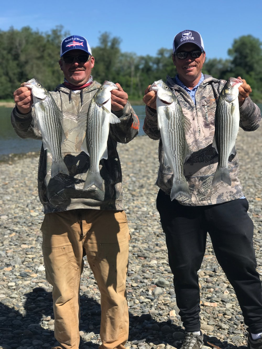 Fishing guides Mike Rasmussen with    SalmonSacRiver.com and Dave Jacobs of  sacramentofishing.com hold up their limits of keeper striped bass caught near Red Bluff, Ca on the Sacramento River here in Northern California.