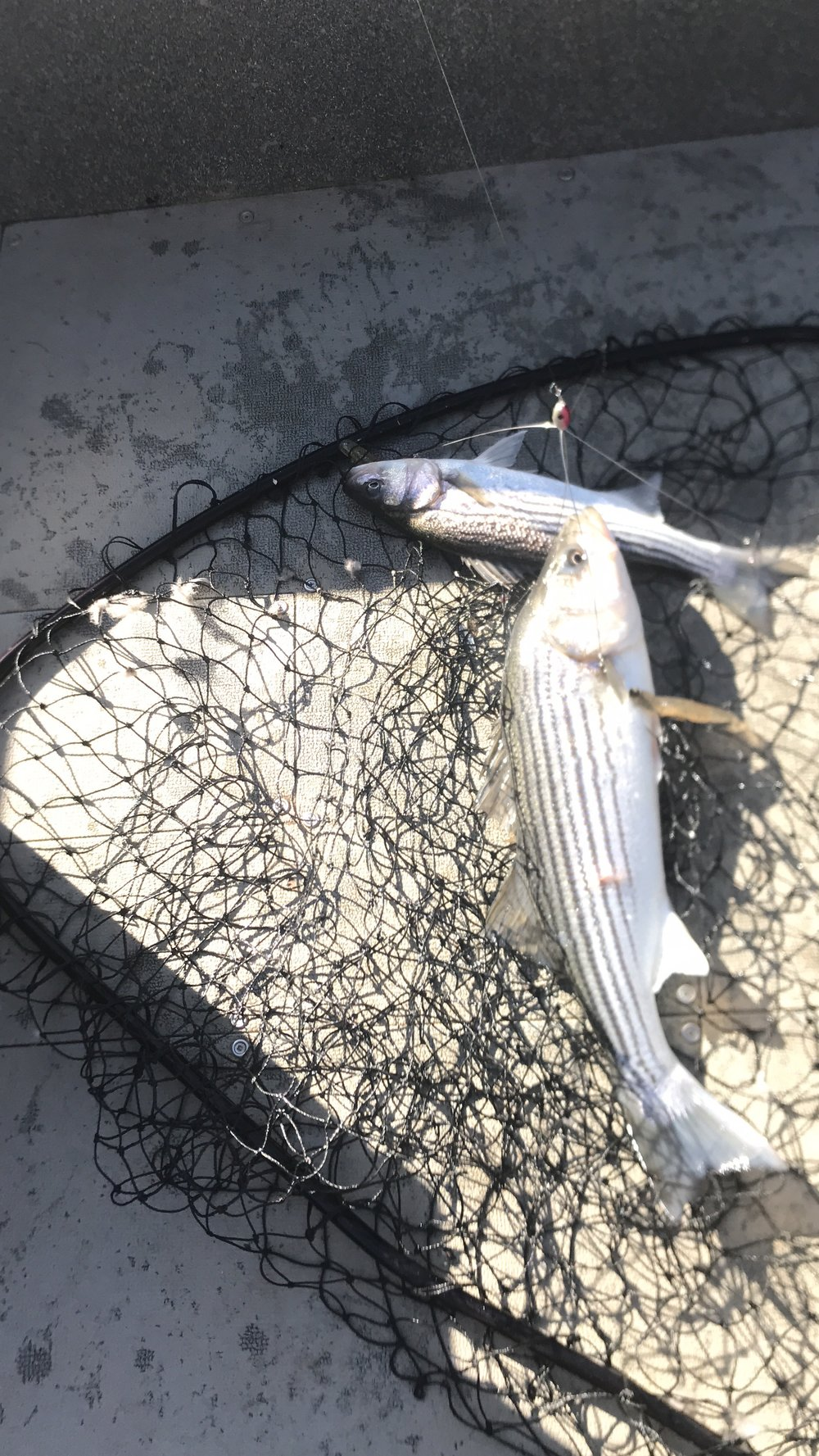 This pair of Sacramento River striped bass were brought to the boat on February 2, 2018 while fishing the Red Bluff, Ca region of the Sacramento River, here in Northern California. Striped Bass fishing guide Mike Rasmussen used the Alabama Rig to catch these feisty striped bass.
