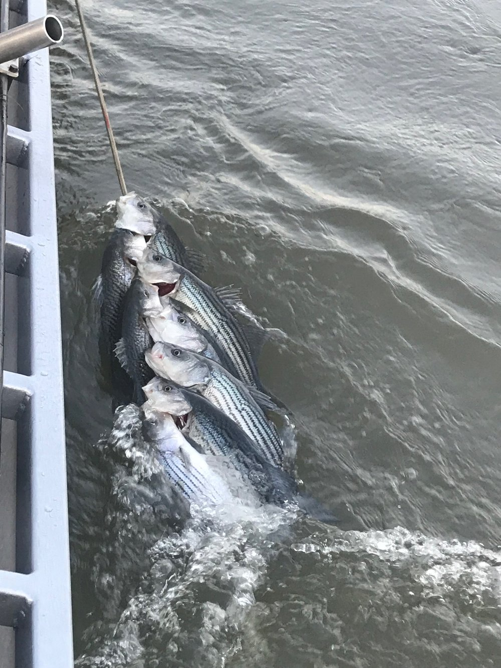 Sacramento River striped bass where on the bite this week big time for local fishing guides like Mike Rasmussen who shows off his clients early limits before sunrise this week on the Sacramento River below the Tisdale, Ca boat launch.