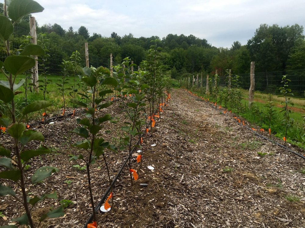 These thriving new apple trees will stay in the nursery for two to three years depending on the growth rate characteristic of each variety. Then they will be planted in the orchard among other apple trees and a variety of companion plants. Our orchards will be poly-cultural mix of fruit trees, berries, and pollinator attractor plants just to name a few. This organic, natural method will give each and every plant its best opportunity to be successful.