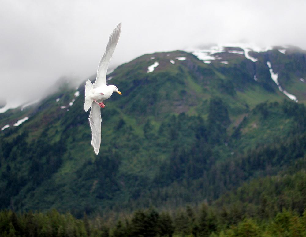 160706w_CA_seagull_flight_SDC.jpg