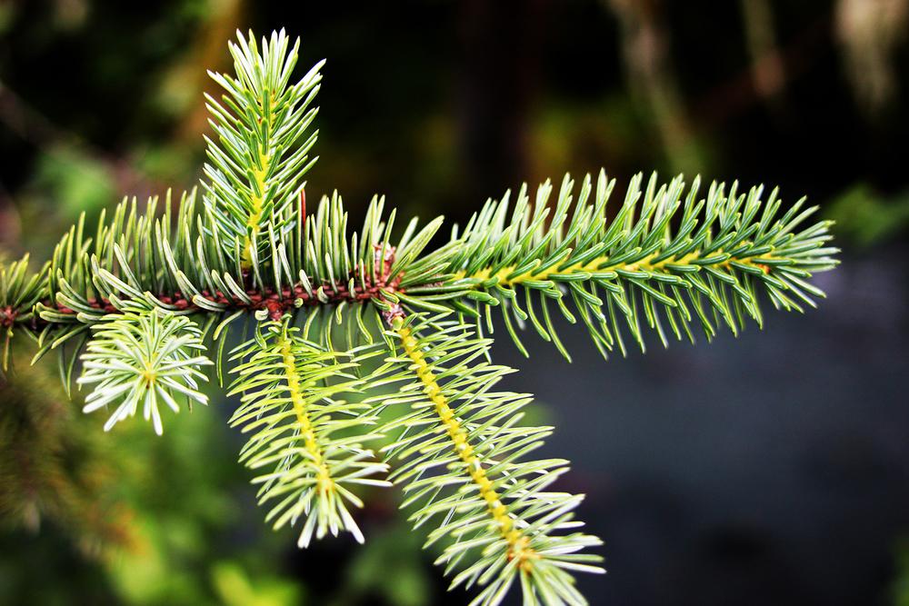 160707w_CA_pine_needles_closeup_SDC.jpg