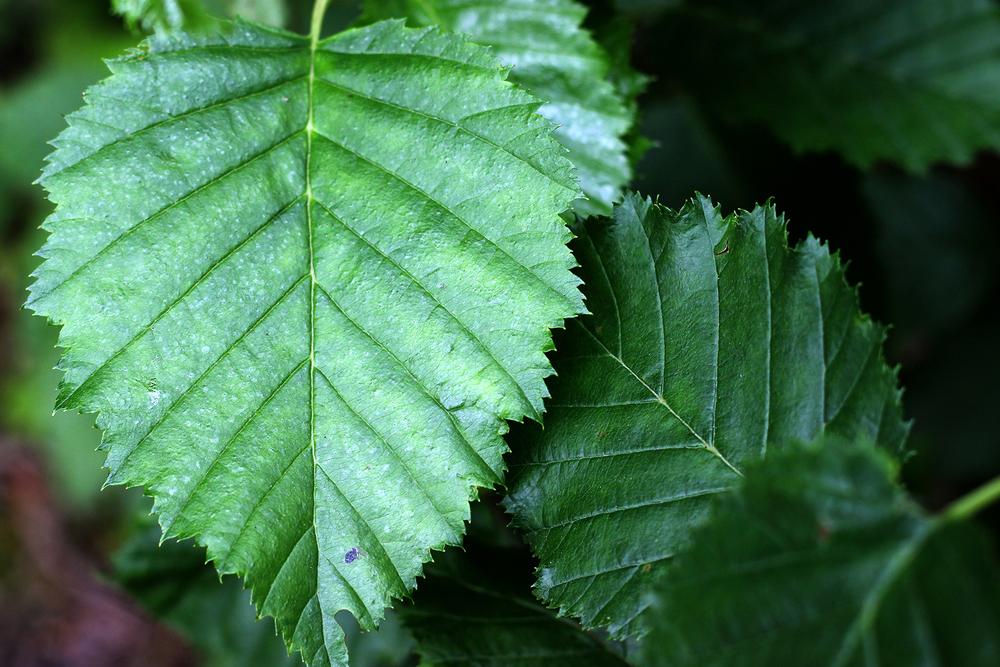 160709w_CA_leaves_green_lines_SDC.jpg