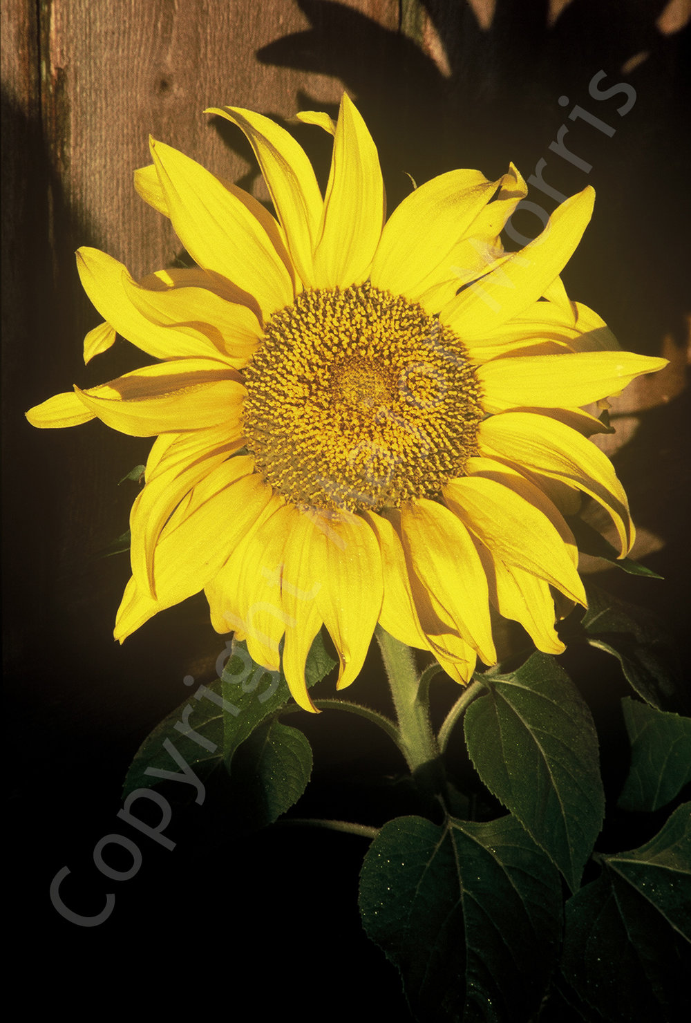 Sunflower  Color Photograph Copyright Major Morris