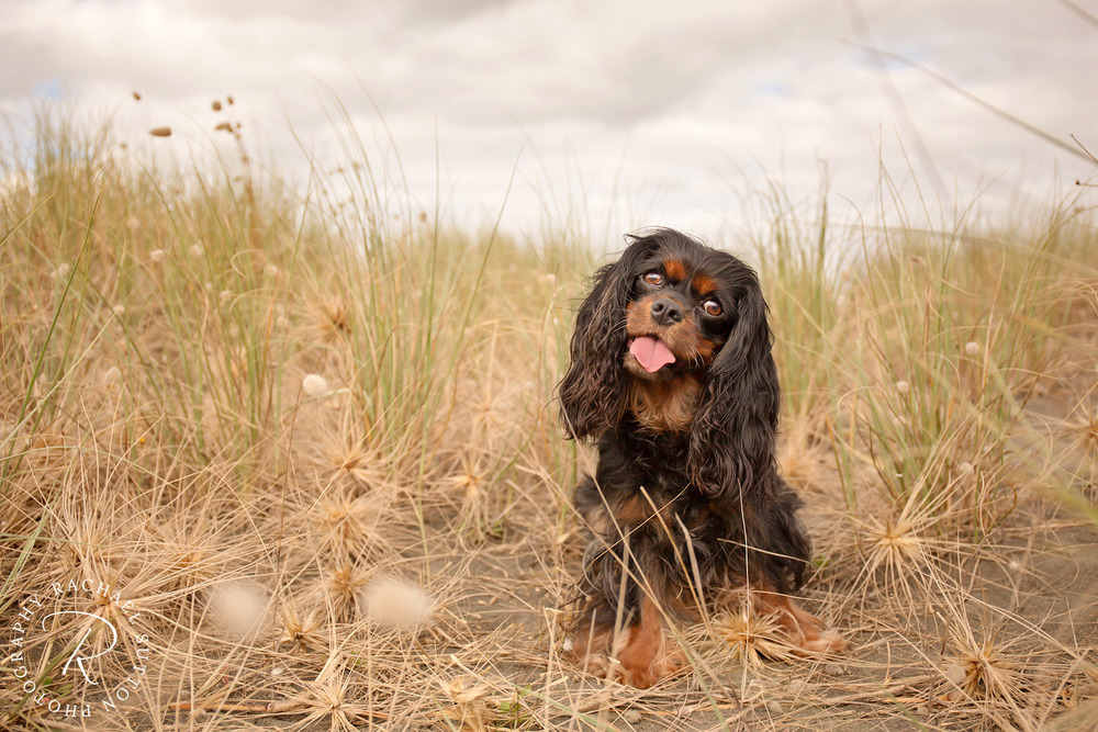 pet photography, Dog on the beach amongst sand dunes at Raglan Beach