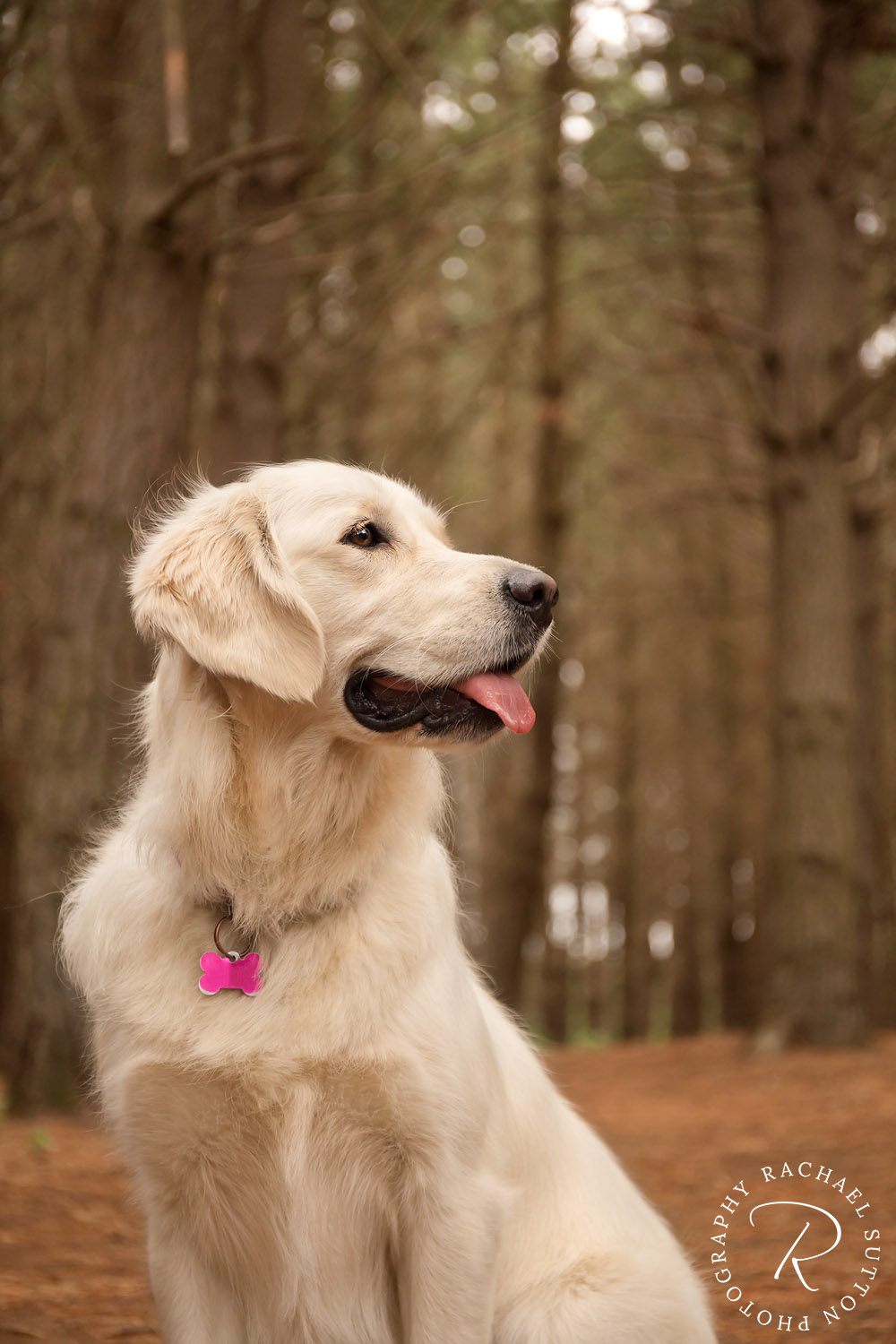 Golden Retriever, dog sitting in forest, pet photography