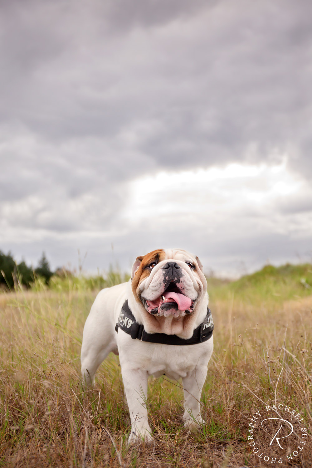 pet photo, Bulldog, dog, standing on grass at the beach in Raglan, New Zealand